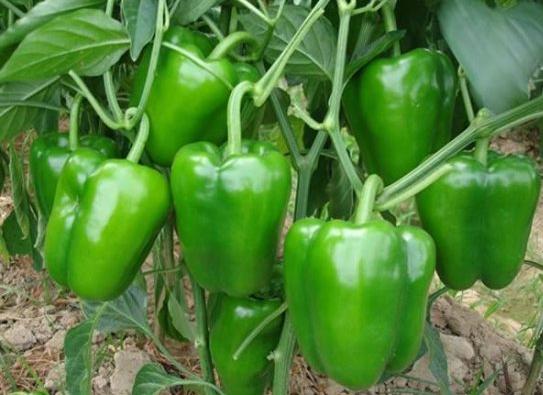 大棚蔬菜圆椒防畸形方法!